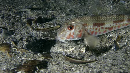 vasa : Marine fish Red mullet (Mullus barbatus), night coloration, medium shot. Stock Footage