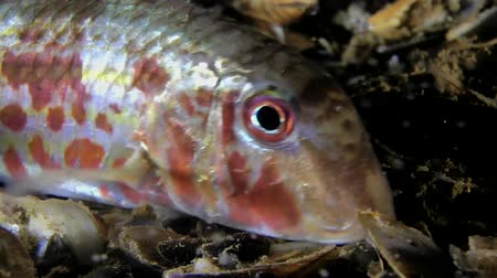 vasa : Marine fish Red mullet (Mullus barbatus), portrait and care of the frame, close-up.