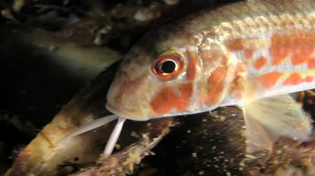 barbatus : Marine fish Red mullet (Mullus barbatus) touches the bottom of the mustache in search of food, close-up.