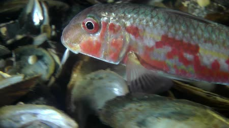 vasa : Marine fish Red mullet (Mullus barbatus) touches the bottom of the mustache in search of food, close-up, tracking shot. Stock Footage
