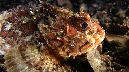 kalakeitto : Portrait of European black scorpionfish (Scorpaena porcus), close-up, side view.