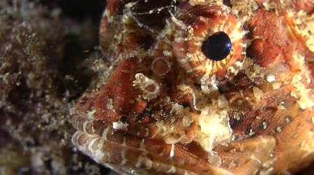 erythraea : The eye and mouth of European black scorpionfish (Scorpaena porcus), close-up. Stock Footage