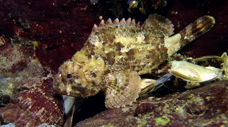erythraea : Black scorpionfish (Scorpaena porcus) sits on a rock, then quickly swims away from the frame, medium shot. Stock Footage
