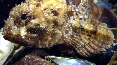 erythraea : Black scorpionfish (Scorpaena porcus) sits on a rock, then slowly creeps on the pectoral fins of the frame, close-up.