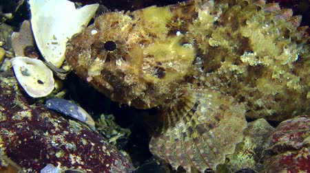 erythraea : Black scorpionfish (Scorpaena porcus) sits on a rock, and then flows out of the frame, close-up. Stock Footage