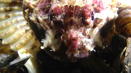 brune : Black scorpionfish (Scorpaena porcus) rotates the eyes, portrait, front view. Stock Footage