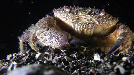separação : Marine decapods Warty crab (Eriphia verrucosa) separates the shell and put it in its mouth, close-up.