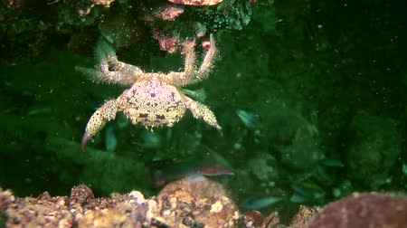 caranguejo : Marine decapod Warty crab (Eriphia verrucosa) continues to try to reach a nearby stone, medium shot.