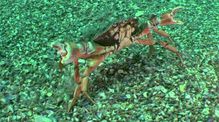 crustáceo : Shore crab (Carcinus maenas): does pose of a threat and goes away, medium shot.