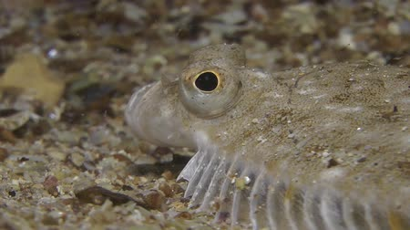 ryba : European flounder (Platichthys flesus) lies on the sandy ground, portrait, side view.