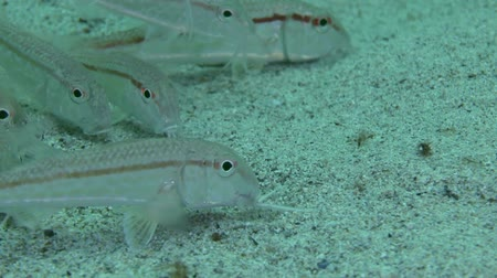 vasa : Red mullet (Mullus sp.): flock of fishes feeding on the sandy bottom, close-up. Stock Footage