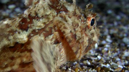 kalakeitto : Black scorpionfish (Scorpaena sp.) slowly passes through the frame, close-up.