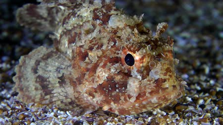 erythraea : Black scorpionfish (Scorpaena sp.) turns in the frame, close-up.