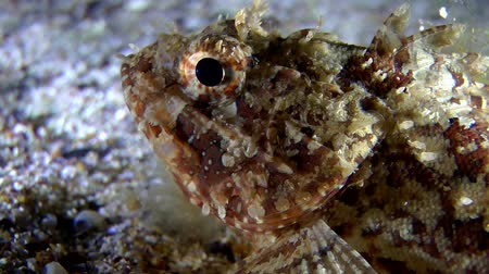 scorpionfish : Black scorpionfish (Scorpaena sp.) lies at the bottom, and then swims from the frame, close-up. Stock Footage