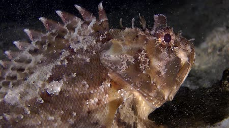 kalakeitto : Black scorpionfish (Scorpaena sp.) lies at the bottom, close-up. Stock Footage