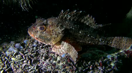 kalakeitto : Black scorpionfish (Scorpaena sp.) lies at the bottom in the shadow of the stone, medium shot.