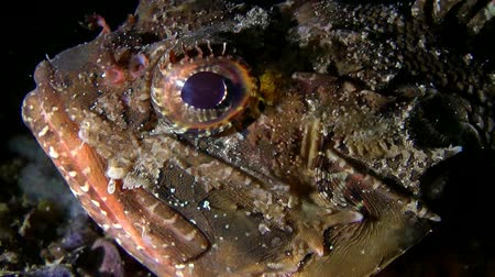 erythraea : Black scorpionfish (Scorpaena sp.): The eyes and mouth of a fish, close-up.