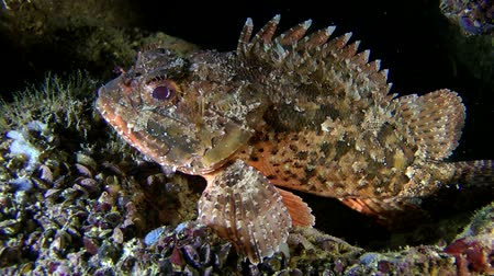 erythraea : Black scorpionfish (Scorpaena sp.) lies at the bottom, and then departs into the shadow of the stone, medium shot.