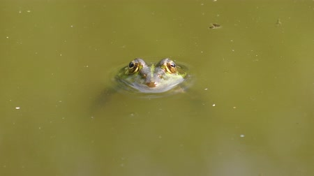 ridibunda : Pool frog (Pelophylax lessonae) raised its head above the water.