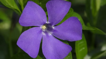 apocynaceae : Flower of Greater Periwinkle (Vinca major), close-up.