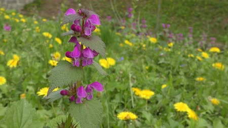 ısırgan otu : Flowering plant of Red Dead-nettle (Lamium purpureum) against other flowers.