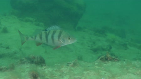 spearfishing : European perch (Perca fluviatilis) swims on a background of stones. Stock Footage