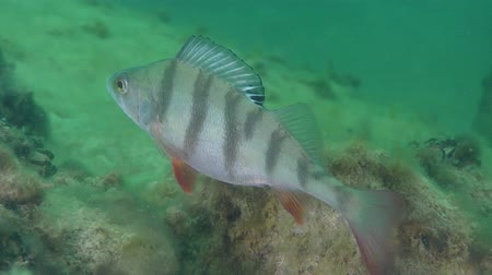 spearfishing : European perch (Perca fluviatilis) stands between the stones, then leaves the frame, close-up. Stock Footage
