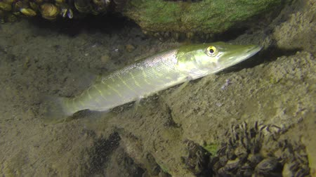 spearfishing : Northern pike (Esox lucius) swims slowly over the muddy bottom.