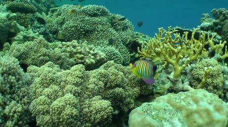 regal : Regal angelfish (Pygoplites diacanthus) and other fish species on background of coral reef, wide shot.
