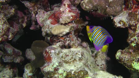 regal : Regal angelfish (Pygoplites diacanthus) explores grottoes in the wall of a coral reef, wide shot.