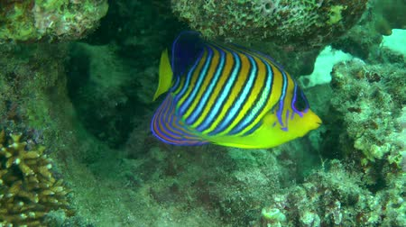 regal : Regal angelfish (Pygoplites diacanthus) swims against the coral background, then leaves the frame, medium shot. Stock Footage