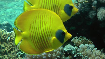 reef life : A pair of Bluecheek butterflyfish (Chaetodon semilarvatus) slowly float against the top of a coral reef, close up.