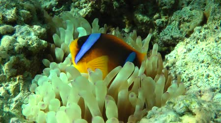 red sea anemonefish : Twoband anemonefish (Amphiprion bicinctus) among the tentacles of actinia in blinking sunlight in shallow water, medium shot. Stock Footage
