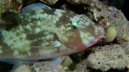 fenda : Candelamoa parrotfish (Hipposcarus harid) is asleep in the crevice of the reef, night shooting, close up.