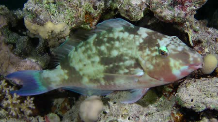 crevice : Candelamoa parrotfish (Hipposcarus harid) is asleep in the reef crevice, night shot, medium shot.