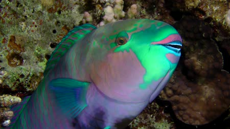 crevice : The male Rusty parrotfish (Scarus ferrugineus) sleeps in the reef crevice, night shooting, close up. Stock Footage