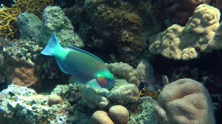 ara papagáj : Male Daisy parrotfish (Chlorurus sordidus) is looking for food among the corals, then leaves the frame, medium shot.