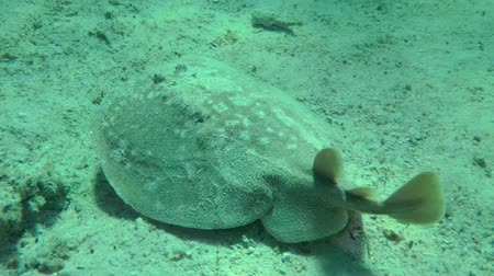 torpedo : Panther Electric Ray (Torpedo panthera) slowly swims over the sandy bottom, then sinks to the bottom, medium shot. Stock Footage