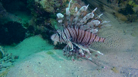 scorpaena : Devil firefish or Soldier lionfish (Pterois miles) stands at the bottom near the reef, medium shot.