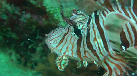 scorpaena : Devil firefish or Soldier lionfish (Pterois miles) stands at the bottom near the reef, portrait. Stock Footage