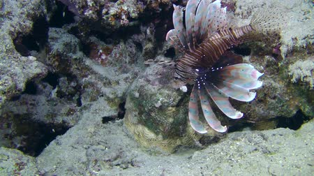 scorpionfish : Devil firefish or Soldier lionfish (Pterois miles) swims on the reef background, medium shot.