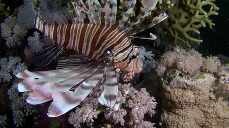 scorpaena : Devil firefish or Soldier lionfish (Pterois miles) swims on the background of the reef to the cave entrance, medium shot.