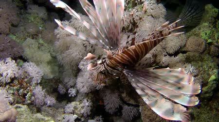 scorpaena : Devil firefish or Soldier lionfish (Pterois miles) slowly turns in front of the camera, medium shot.