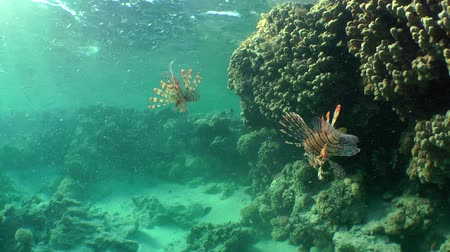 rana : Two Devil firefish or Soldier lionfish (Pterois miles) surrounded by flock of Hardyhead Silverside (Atherinomorus lacunosus), wide shot. Stock Footage