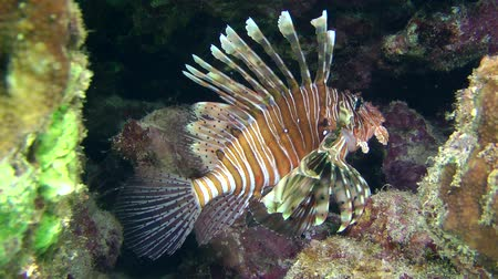scorpaena : Devil firefish or Soldier lionfish (Pterois miles) stands between stones, medium shot.
