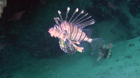 scorpionfish : Two Devil firefish or Soldier lionfish (Pterois miles) in a dark cave at the bottom of the reef, wide shot. Stock Footage
