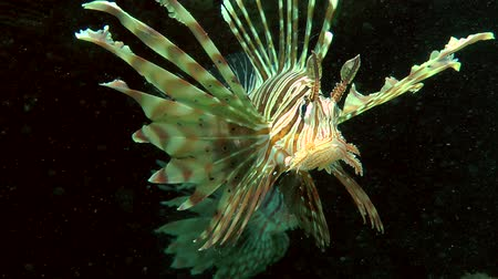 scorpaena : Devil firefish or Soldier lionfish (Pterois miles) on a dark background of the cave entrance, close up. Stock Footage