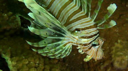 scorpaena : Devil firefish or Soldier lionfish (Pterois miles) slowly swims on the coral background, then leaves the frame, close up.