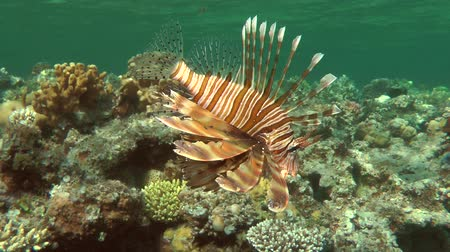 scorpaena : Devil firefish or Soldier lionfish (Pterois miles) swims along the top edge of the reef, medium shot.