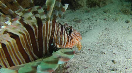 scorpaena : Devil firefish or Soldier lionfish (Pterois miles) stands on a sandy bottom and stirs its fins, close up. Stock Footage